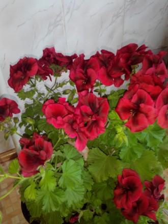 Комнатні квіти.. Кропивницкий. фото 1