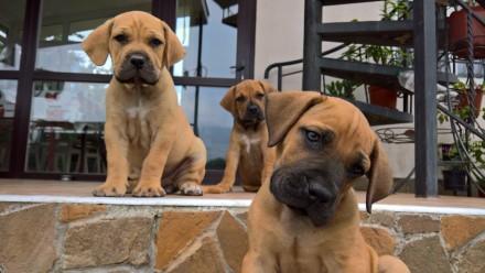 Продам щенков Южноафриканского мастифа. Одеса. фото 1