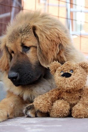Породные щенки тибетских мастифов. Київ. фото 1
