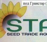 Семена подсолнуха под Гранстар (50г/га) НС-Х-1749 и НС-Х-7370  (Нови Сад) Сербия. Харьков. фото 1