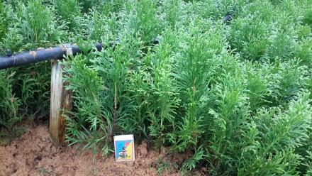 Продам укорененные черенки хвойных и лиственных растений. Киев. фото 1