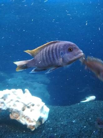 !!! Срочно!!! Маловийские цихлиды. Мариуполь. фото 1