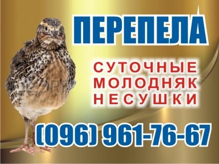Перепелки. Суточные и молодняк. с.Демидов. Иванков. фото 1