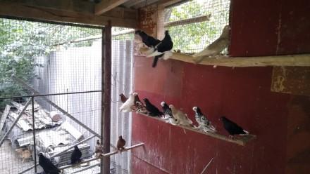 Декоративные голуби. Бойные, челкари.. Винница. фото 1