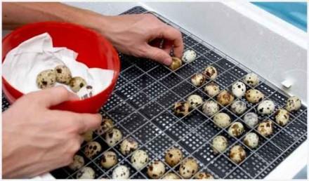 Инкубационные яйца перепелов. с.Демидов. Иванков. фото 1