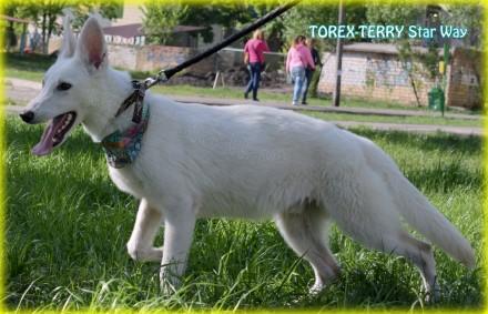 Продается подрощенный щенок - кобель - - TOREX-TERRY Star Way, д.р.: 09.09.2016. Киев, Киевская область. фото 5