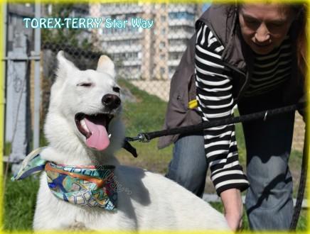 Продается подрощенный щенок - кобель - - TOREX-TERRY Star Way, д.р.: 09.09.2016. Киев, Киевская область. фото 7
