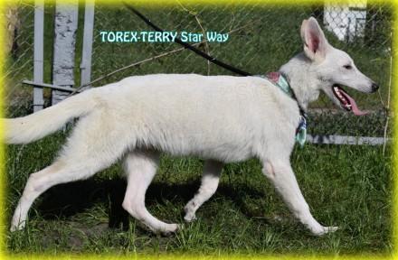 Продается подрощенный щенок - кобель - - TOREX-TERRY Star Way, д.р.: 09.09.2016. Киев, Киевская область. фото 3
