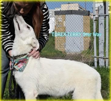 Продается подрощенный щенок - кобель - - TOREX-TERRY Star Way, д.р.: 09.09.2016. Киев, Киевская область. фото 4